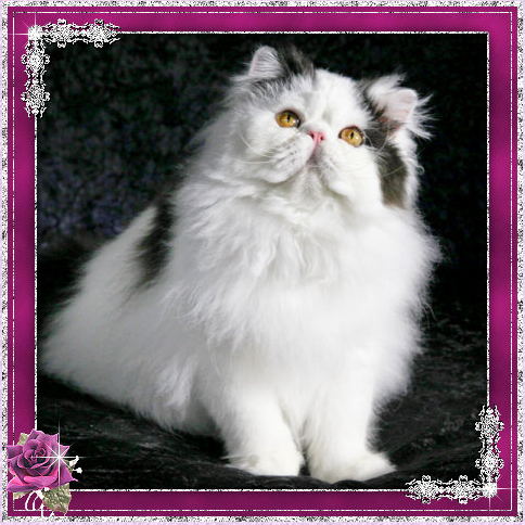 ... Cattery - Exotic Shorthair & Persian Cat Breeder - Sunshine Coast, QLD